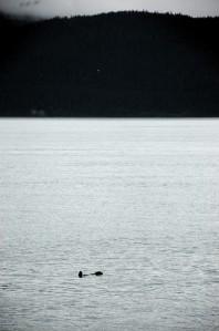 Sea otter in Resurrection Bay