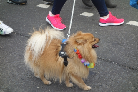 Picture of a small fluffy chihuahua at the Pride Glasgow march wearing a rainbow flower garland